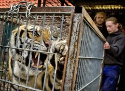 tiger in a cage angry